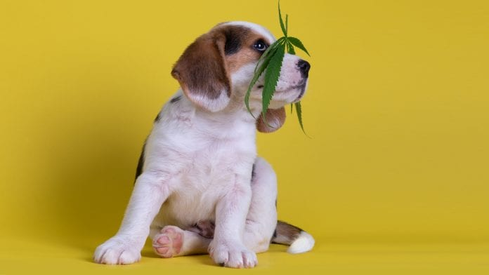 Amazing Benefits Of CBD For Pets You Should Know About